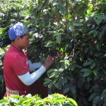 Coffee Growing & Picking Photos