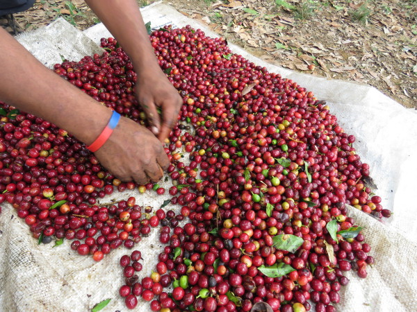 Hand sorting - picking out the green coffee cherries