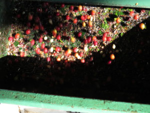 Cherry peels composted