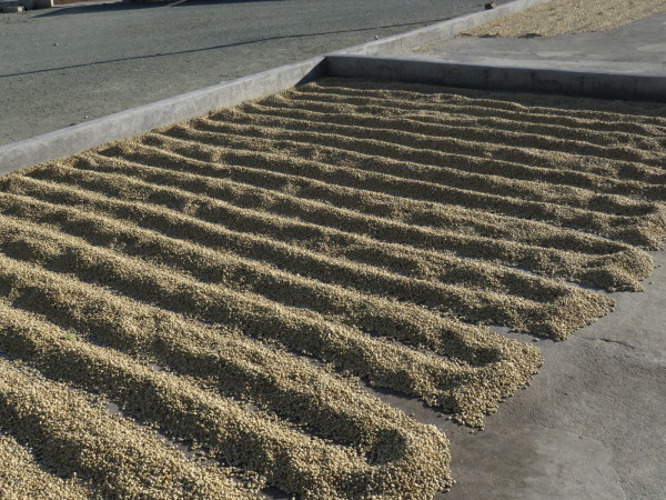 Rows of coffee beans drying in the sun