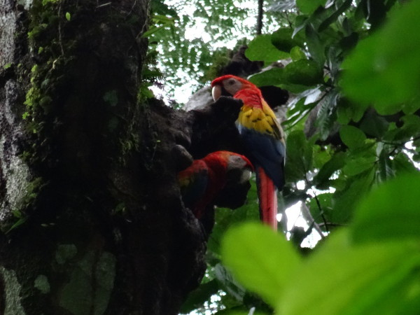 Scarlet Macaws on their nest