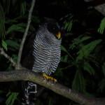 Black and white owl (Ciccaba nigrolineata)