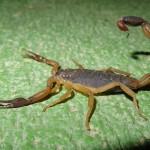 Central American bark scorpion (Centruroides margaritatus)