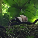 White headed or bare throated capuchin monkey (Cebus capucinus)