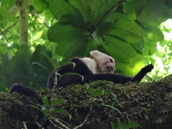 White headed or bare throated capuchin monkey (Cebus capucinus)