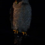 Black and white owl (Ciccaba nigrolineata)
