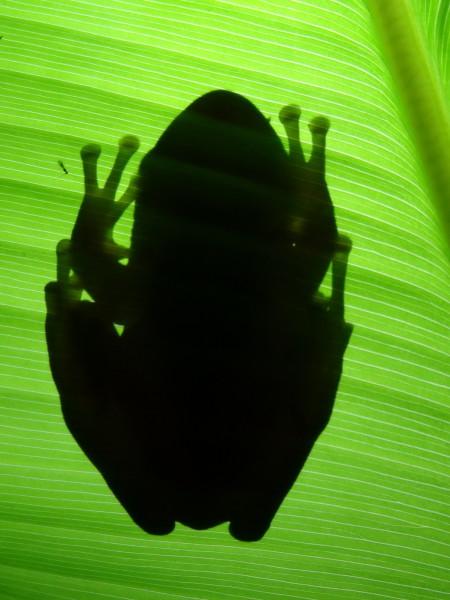 Frog sillohuette