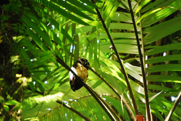 Spectacled owl (Pulsatrix perspicillata) roosting