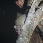 Derby's woolly opossum (Caluromys derbianus)