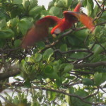 Scarlet macaw diving