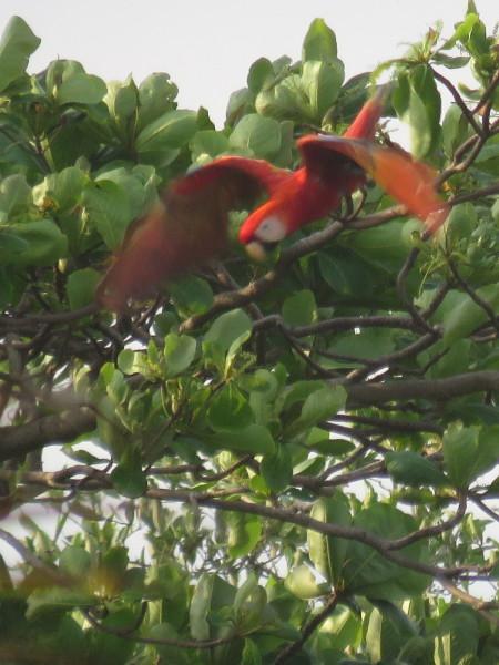 Scarlet macaw diving