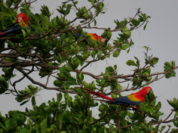 famous macaws come to the mangroves to roost