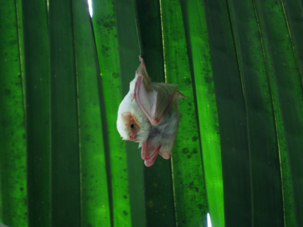 Northern ghost bats (Diclidurus albus)