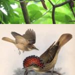Northern royal flycatcher (Onychorhynchus coronatus mexicanus)