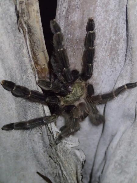 small tarantula