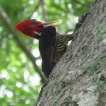 Pale billed woodpecker (Campephilus guatemalensis)