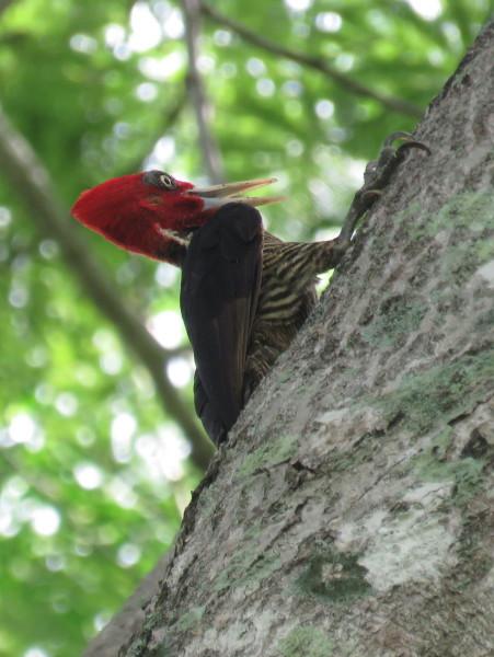 Pale billed woodpecker (Campephilus guatemalensis)