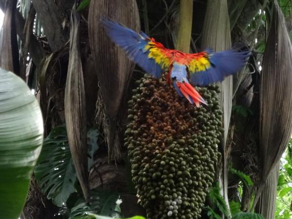 Scarlet macaw (Ara macao) landing