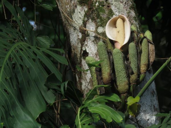 Splitleaf philodendron (Monstera deliciosa) fruit