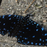 Blue spotted tropical butterfly