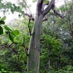 Bulging tree trunk