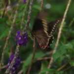 butterfly flapping