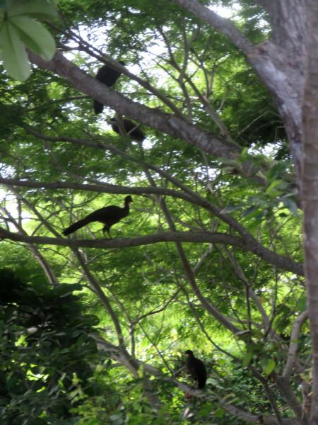 crested guan Penelope purpurascens