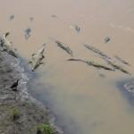 Dozens of huge american crocodiles (Crocodylus acutus)