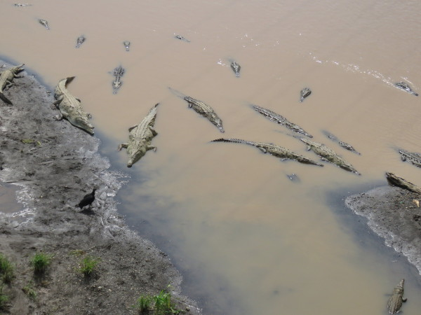 Dozens of huge american crocodiles (Crocodylus acutus)