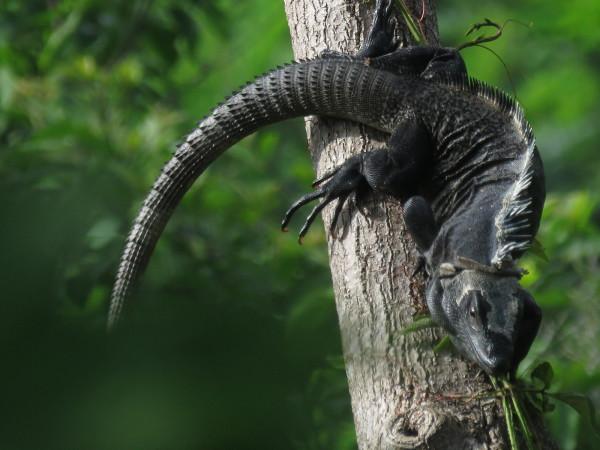 Black Ctenosaur or Garrobo (Ctenosaura similis)