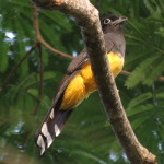 Female black-headed trogon (Trogon melanocephalus)