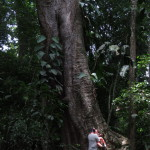 Huge trees like this strangler fig are only found in old growth protected forests like Carara national park