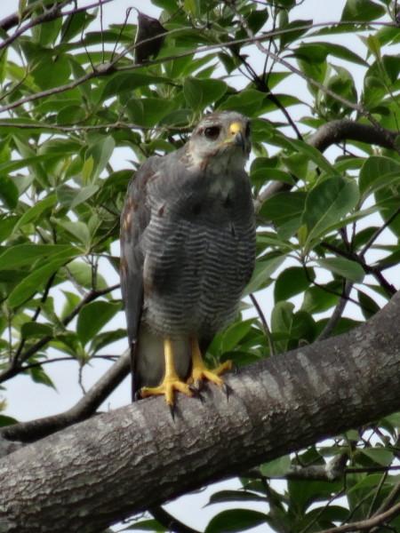 juvenile barred hawk (Leucopternis princeps)