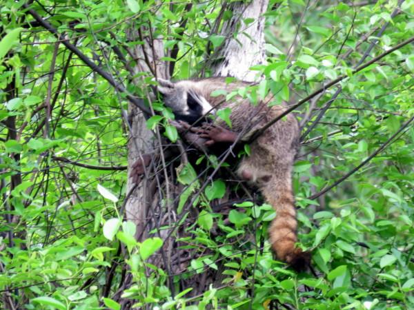 Sleeping raccoon