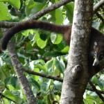 Ring-tailed coatimundi (Nasua narica)