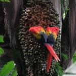Scarlet macaws (Ara macao) feeding