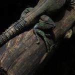 Spiny tail iguana