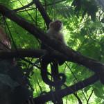 White headed monkey
