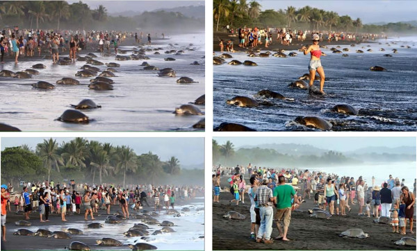 Mob scene on Playa Ostional during turtle nesting
