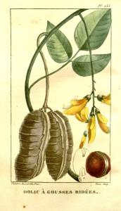 Mucana sloanei hamburger seed pod