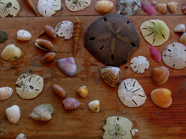 Sea shells and sand dollars