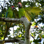 Macaws in Costa Rica
