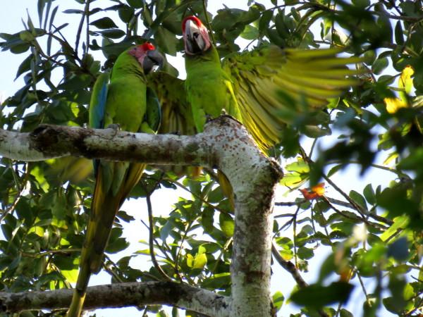 Green Macaws Ara ambiguus Tortuguero Costa Rica