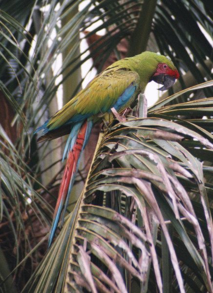 Great green macaw (Ara ambiguus)