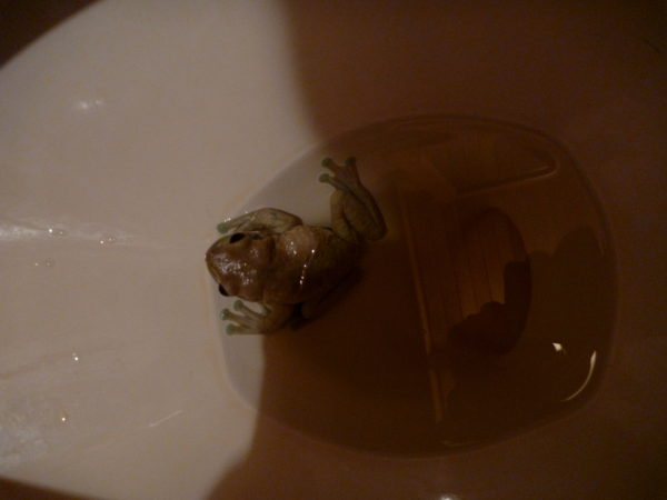 Frog in toilet bowl