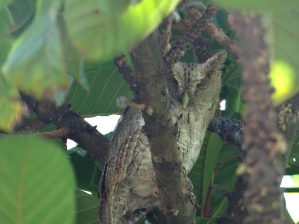 Pacific Screech-Owl (Megascops cooperi)