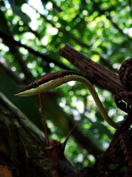 Brown Vinesnake (Bejuquilla café, Oxybelis aeneus)