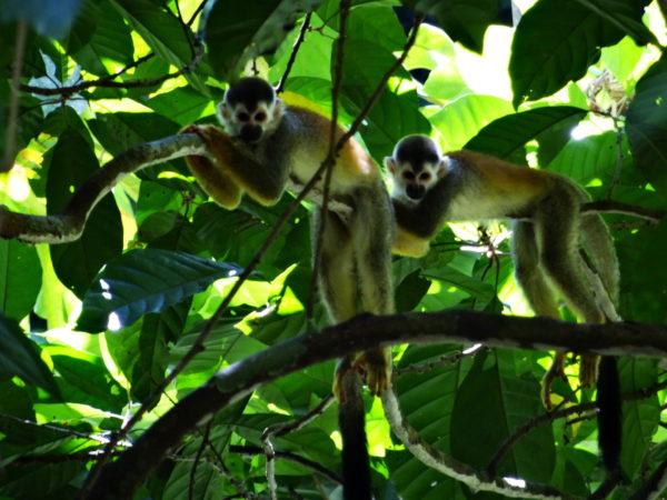 Central American squirrel monkeys