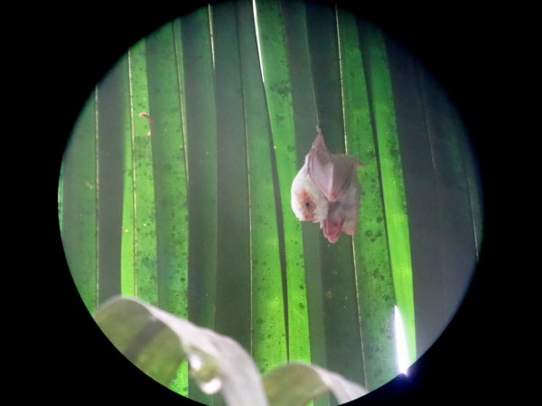 Digiscoping a northern ghost bat (Diclidurus albus)