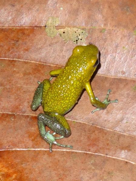 rare green granular poison dart frog